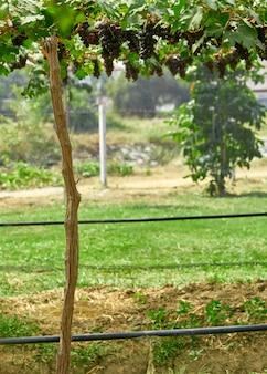 Fond de nature vignobles en plein air au coucher du soleil