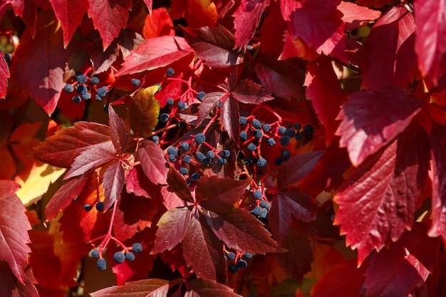 Fond naturel - buisson avec des feuilles d'automne rouge vif et des baies bleues