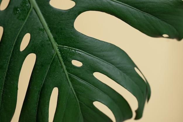 Fond naturel avec feuille de monstera tropicale se bouchent.