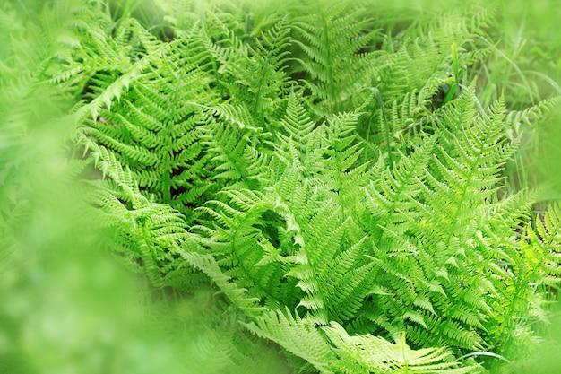 Fond naturel de feuilles de fougère. herbe de forêt. plantes vasculaires.