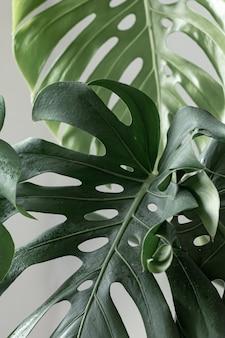 Fond naturel avec des feuilles de monstera tropicales à la lumière du jour.