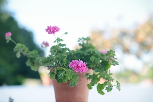 Fond naturel avec des fleurs de pot de fleurs et de géranium, espagnol typique