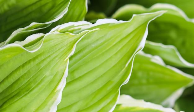 Fond naturel hosta funkia plantain lis dans le jardin closeup feuilles vertes avec bordure blanche