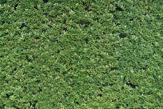 Fond naturel de mur de feuilles minuscules vertes.