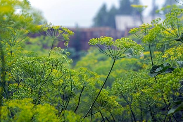 Fond avec parapluie d'aneth parfumé. concept maison, jardinage et agriculture. production d'aliments biologiques végétaux naturels.