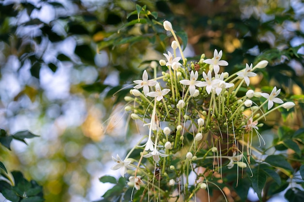Fond de parfum de fleur millingtonia hortensis.
