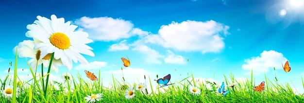Fond de paysage de la fleur de camomille en fleurs naturelles et des papillons.