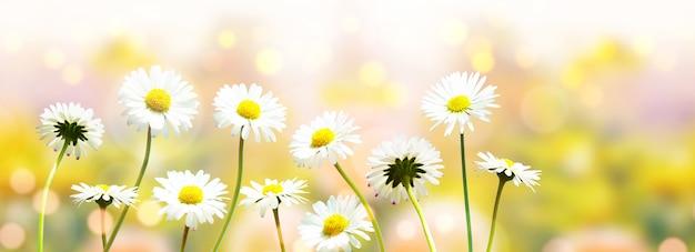 Fond de paysage de la fleur de camomille en fleurs naturelles.