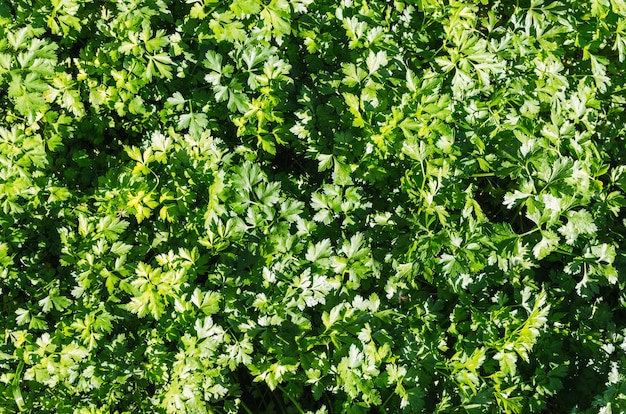 Fond de persil. herbes aromatiques.