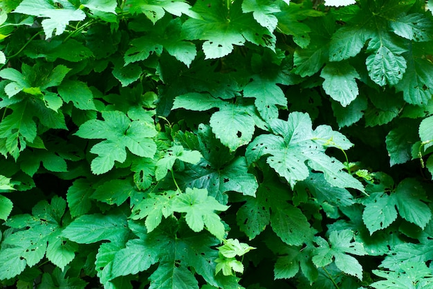 Fond de petites feuilles vertes.
