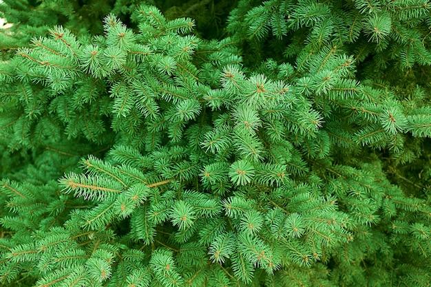 Fond de pin