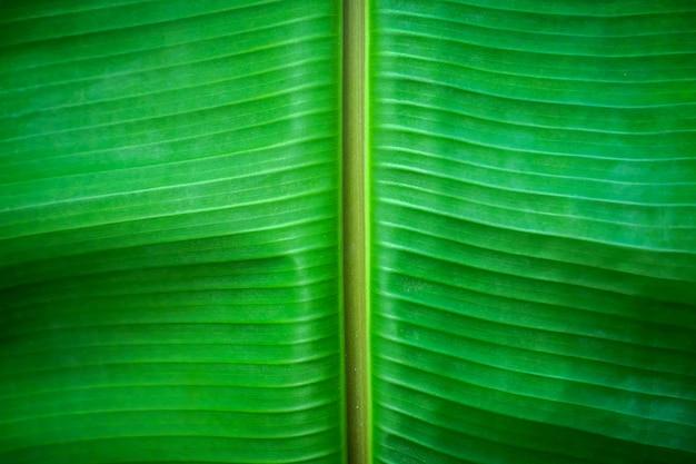 Fond de plan rapproché de feuille verte de banane nous l'espace pour la conception de toile de fond d'image