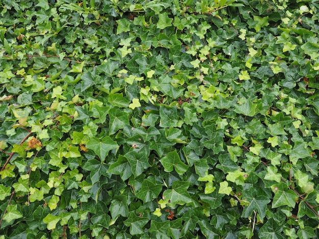 Fond de plante de lierre