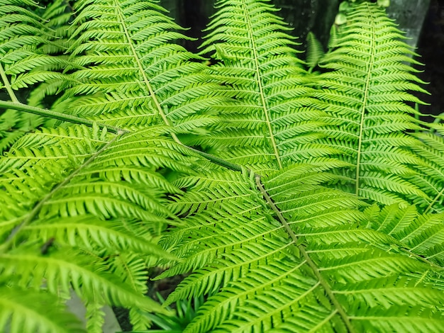 Fond plein cadre de feuilles de fougère verte fraîche