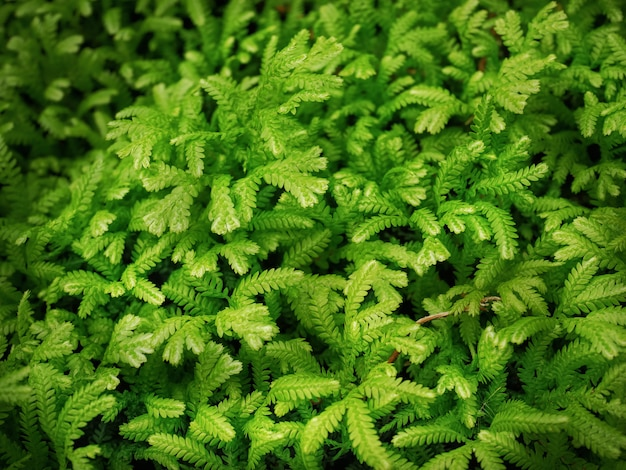Fond plein cadre de fougère verte avec de minuscules feuilles