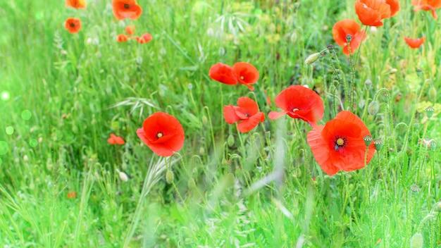 Fond de prairie de coquelicots rouges au printemps.