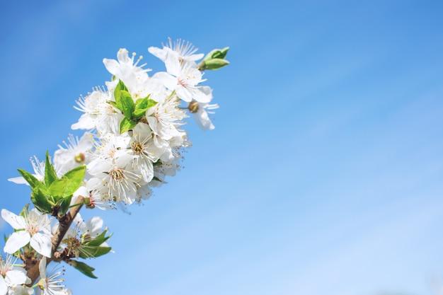 Fond de printemps. arbres cerisier en fleurs