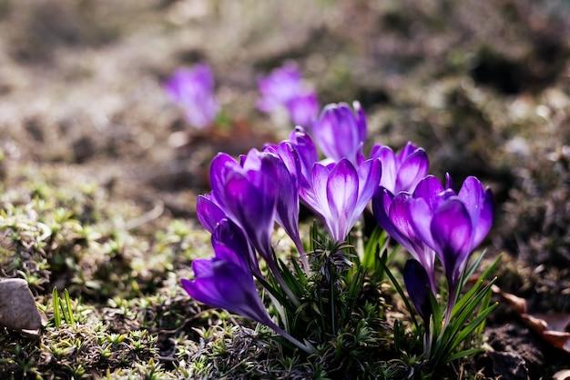Fond de printemps avec de beaux crocus violets dans le jardin. filtre cinéma photo tonique.