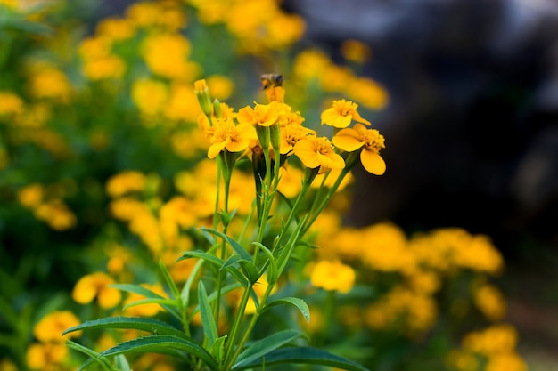 Fond de printemps avec de belles fleurs jaunes et flou abeille