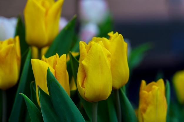 Fond de printemps avec de belles tulipes jaunes