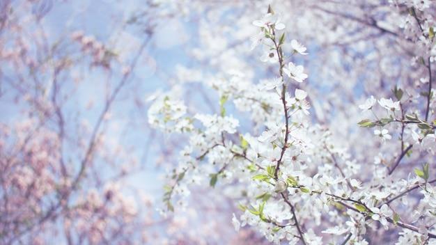 Fond de printemps. cerisiers en fleurs, fleurs de sakura blanches et feuilles vertes