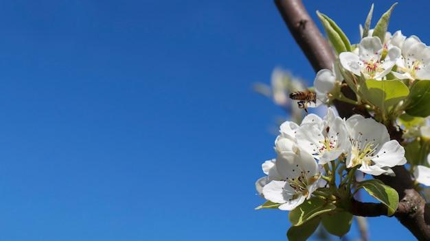 Le fond de printemps est un arbre en fleurs et un ciel bleu clair avec une réplique de l'espace avec un endroit pour faire de la publicité. bannière. bannière ou en-tête pour faire de la publicité sur les réseaux sociaux, au printemps et en été.