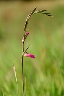 Fond de printemps d'été floral. gros plan d'herbe dans un champ sur la nature. image artistique colorée, espace copie gratuit
