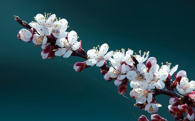 Fond de printemps avec des fleurs, abricotier