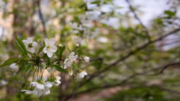 Fond de printemps avec des fleurs de cerisier sur les branches