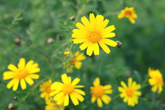 Fond de printemps avec des fleurs jaunes. fleurs printanières.
