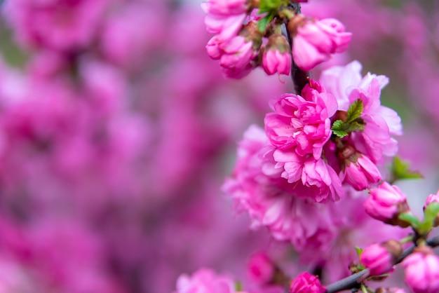 Fond de printemps avec une image de gros plan de fleur rose de la nature