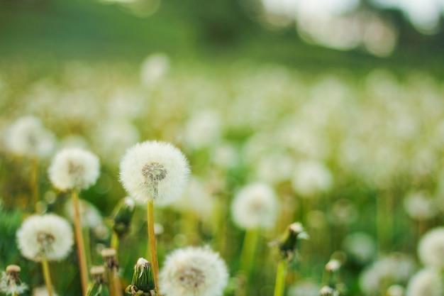 Fond de printemps avec pissenlits de fleurs transparentes claires avec flou artistique.