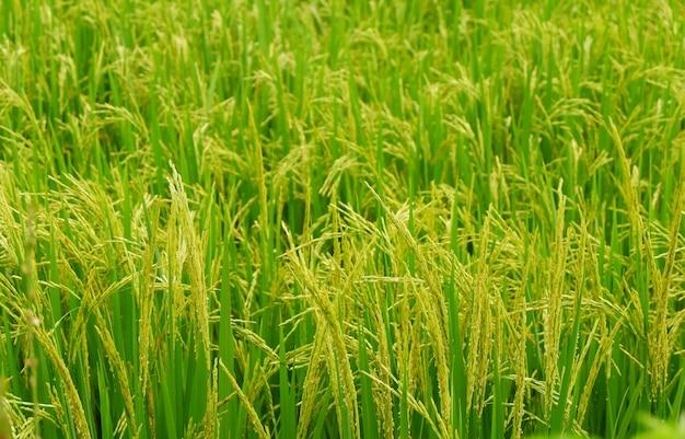 Fond de rizière, plantes de riz jaunes sur les champs verts