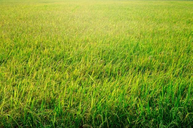 Fond de rizière verte
