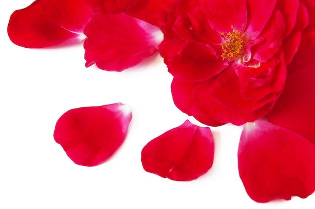Fond de rose rouge et pétales