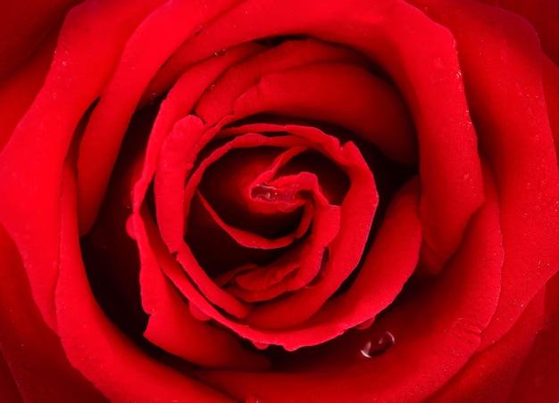 Fond de roses rouges