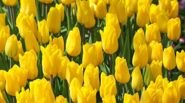 Fond de terre beauté fraîcheur naturelle tulipe jaune fleur champ.
