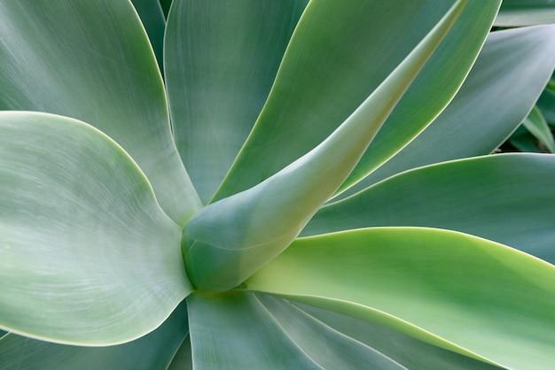 Fond de texture de la feuille d'agave