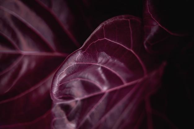 Fond de texture de feuille naturelle. gros plan du red fiddle fig, surface de la feuille de ficus lyrata. vue de dessus. couleur surréaliste