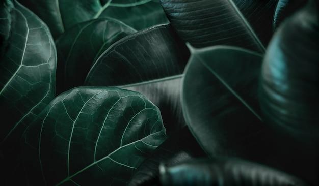 Fond de texture de feuille naturelle. gros plan de green fiddle fig, ficus lyrata et ficus elastica ou surface des feuilles des plantes en caoutchouc. vue de dessus