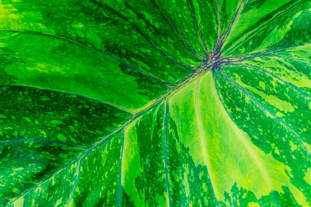 Fond de texture feuille verte caladium. toile de fond nature fraîche. motif abstrait dans la nature.
