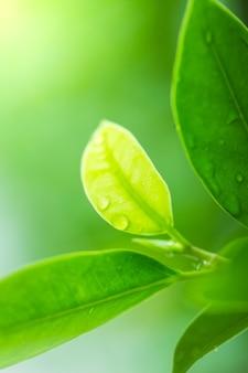 Le fond et la texture des feuilles vertes.