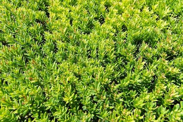 Fond de texture herbe verte vue d'herbe brillante dans le jardin.