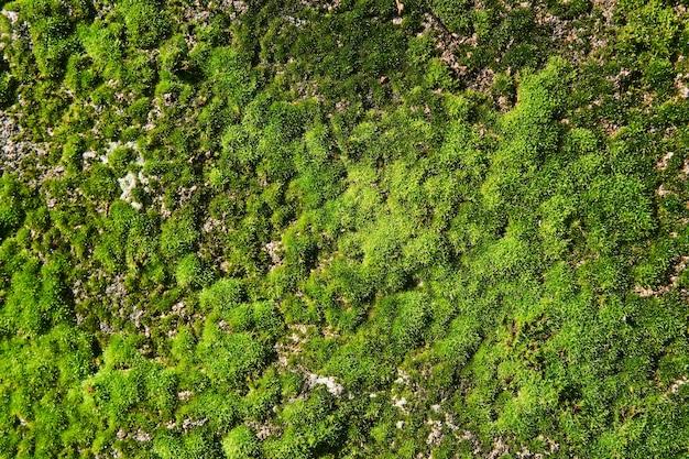 Fond, texture - mousse verte lumineuse fraîche sur un mur en béton