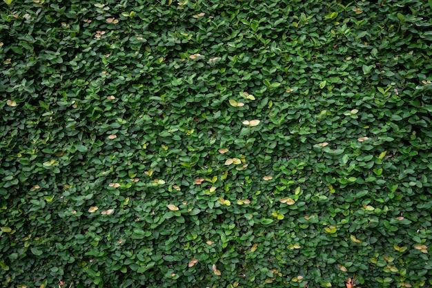 Fond de texture de mur de feuille verte. vigne sur le mur.