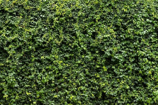 Fond de texture de mur de feuille verte vigne sur le mur