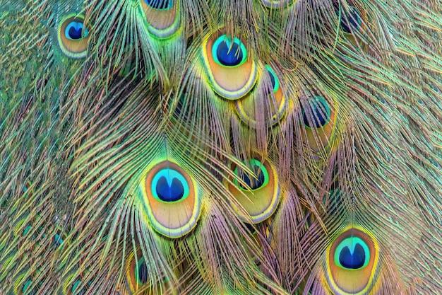 Fond de texture de plume de paon