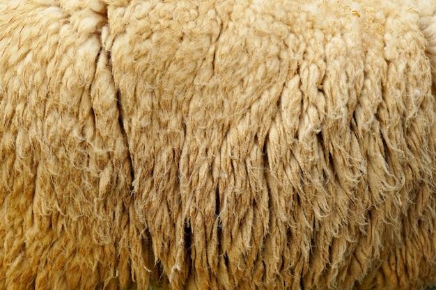 Fond et textures de poils de mouton