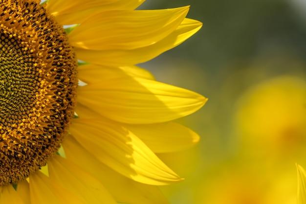 Fond de tournesol naturel, l'huile de tournesol améliore la santé de la peau et favorise la régénération cellulaire