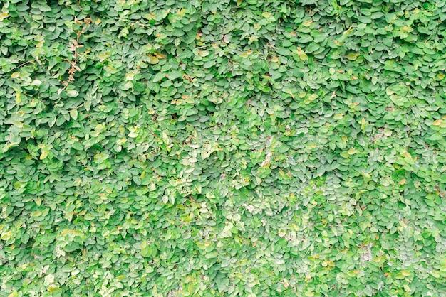 Fond de trèfle vert avec micro gouttes d'eau. image filtrée vintage.
